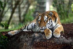 Relaxed tiger by kris-kelvin