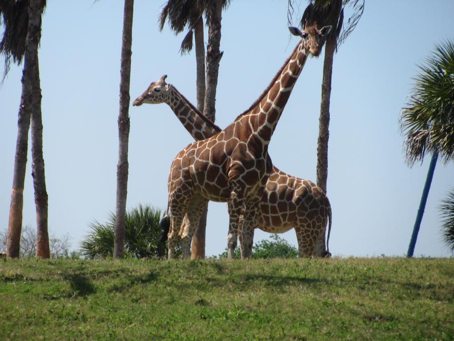 Giraffe. I by BabsxStock