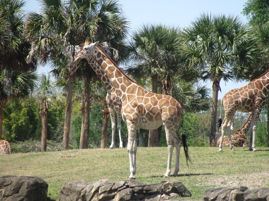 Giraffe. II by BabsxStock