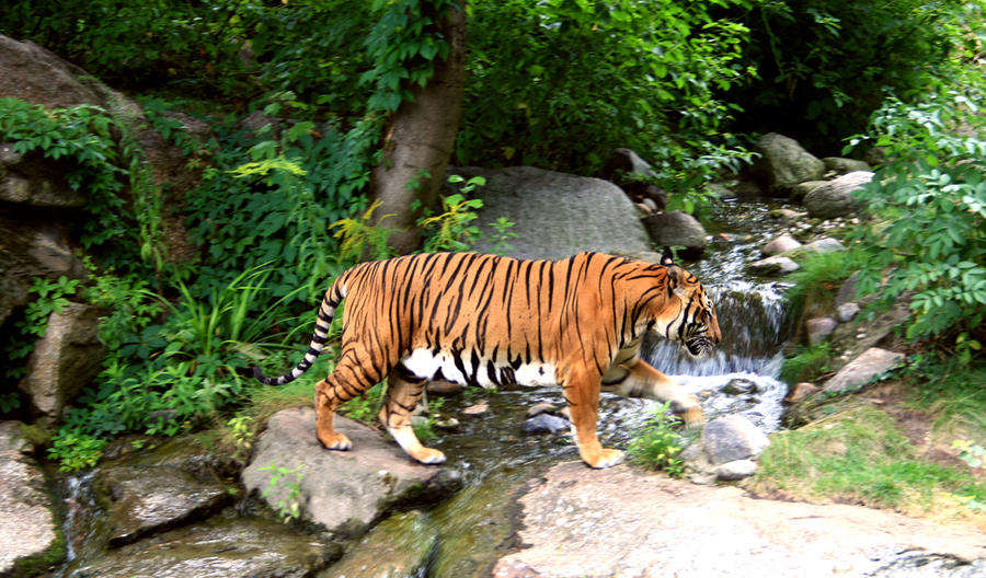 Tiger, tiger.... by marianus