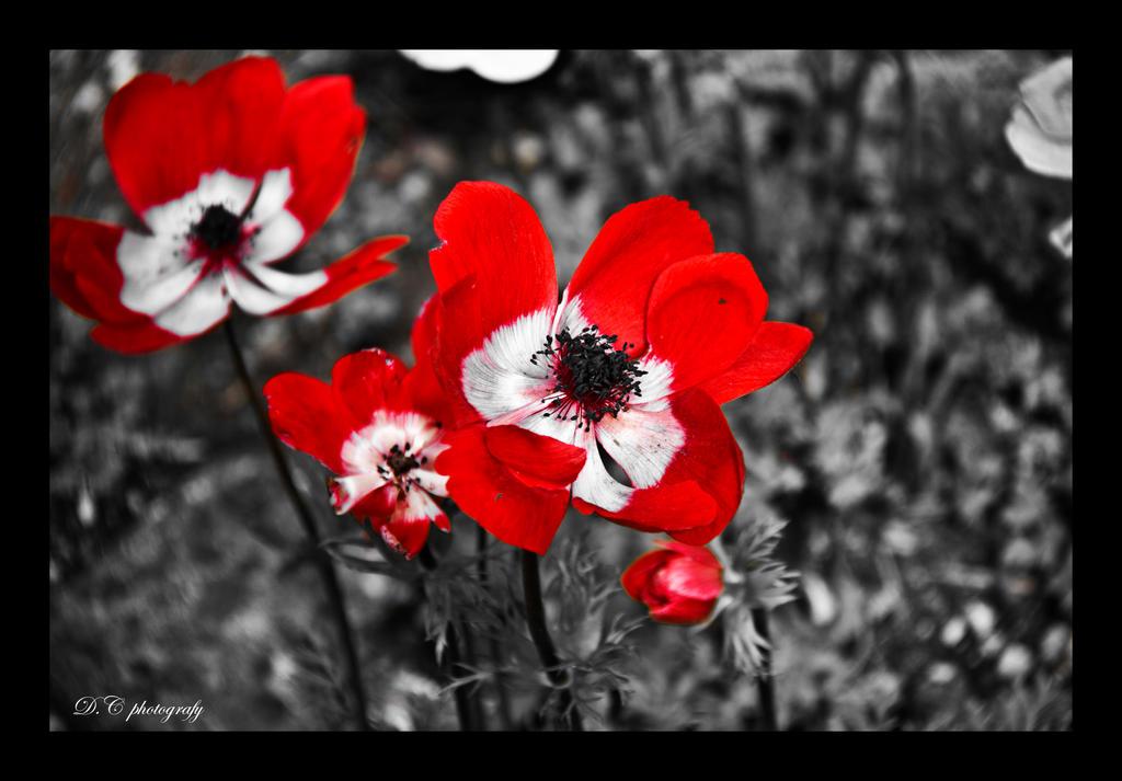 Umjetnička fotografija - čista priroda - Page 3 Red_ones____by_wardoog-d4z4n2l