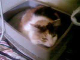 Kitten sleeping in a litterbox by jaimehlers