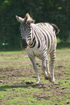 Zebra 2 by LBstockphotography