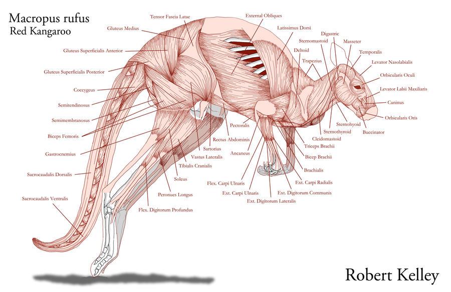 Kangaroo anatomy male