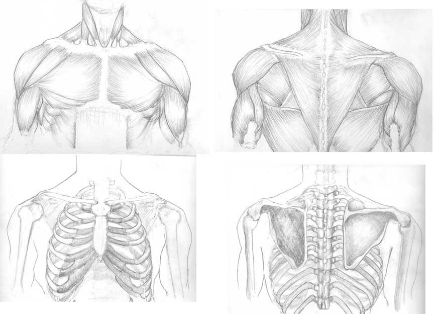 human muscle study – lickclick, Muscles