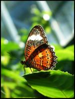Macro - Butterfly - 1