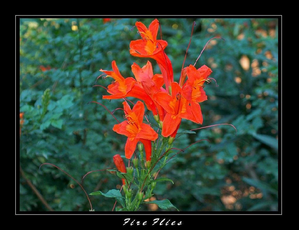 Fire Flies by Morgor