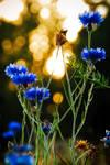 Cornflowers and Sunset