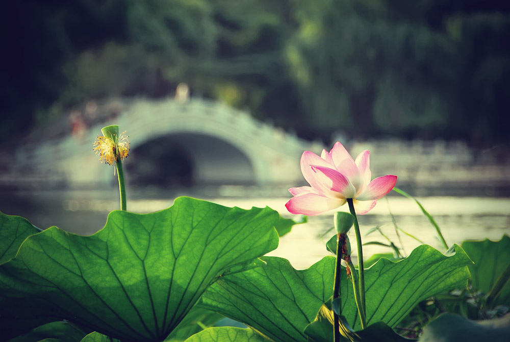 Lotus and Chinese Bridge by leruswing