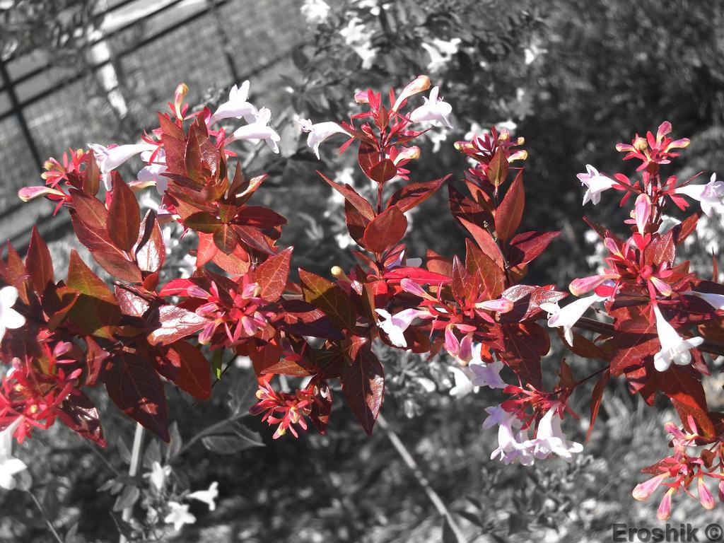 Red Leaves And White Flowers By Eroshik On Deviantart