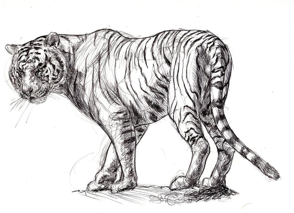 White Tiger sketch by Ezekiel-Black on DeviantArt