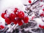 Winter Berries by Rubberduckie-x