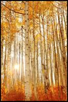 Backlit Aspen by kimjew