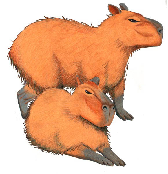 Capybara By NocturnalSea On DeviantArt