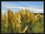 Pampas Blooms