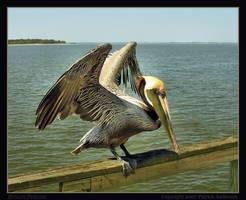 Brown Pelican by renaissanceman3