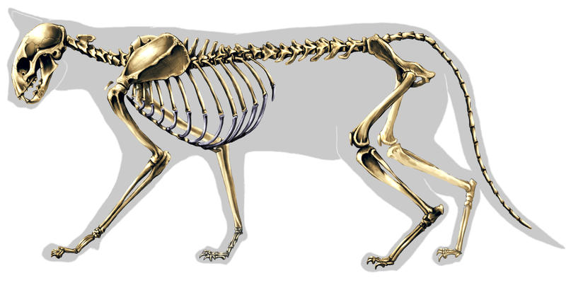 Cat Skeleton by highdarktemplar on DeviantArt