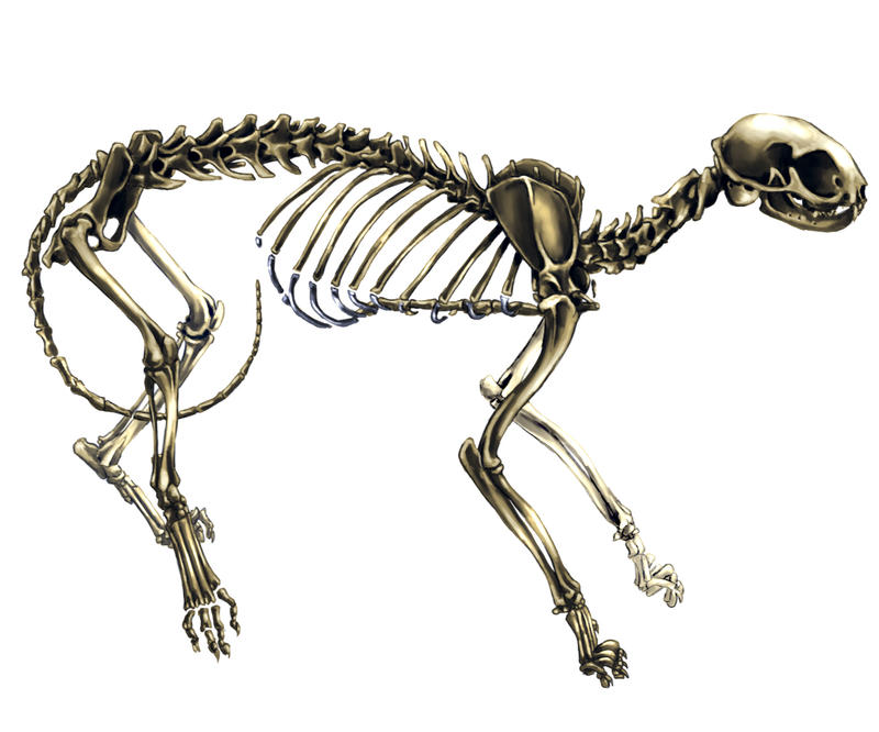 Cat Skeleton Drawing New Blog