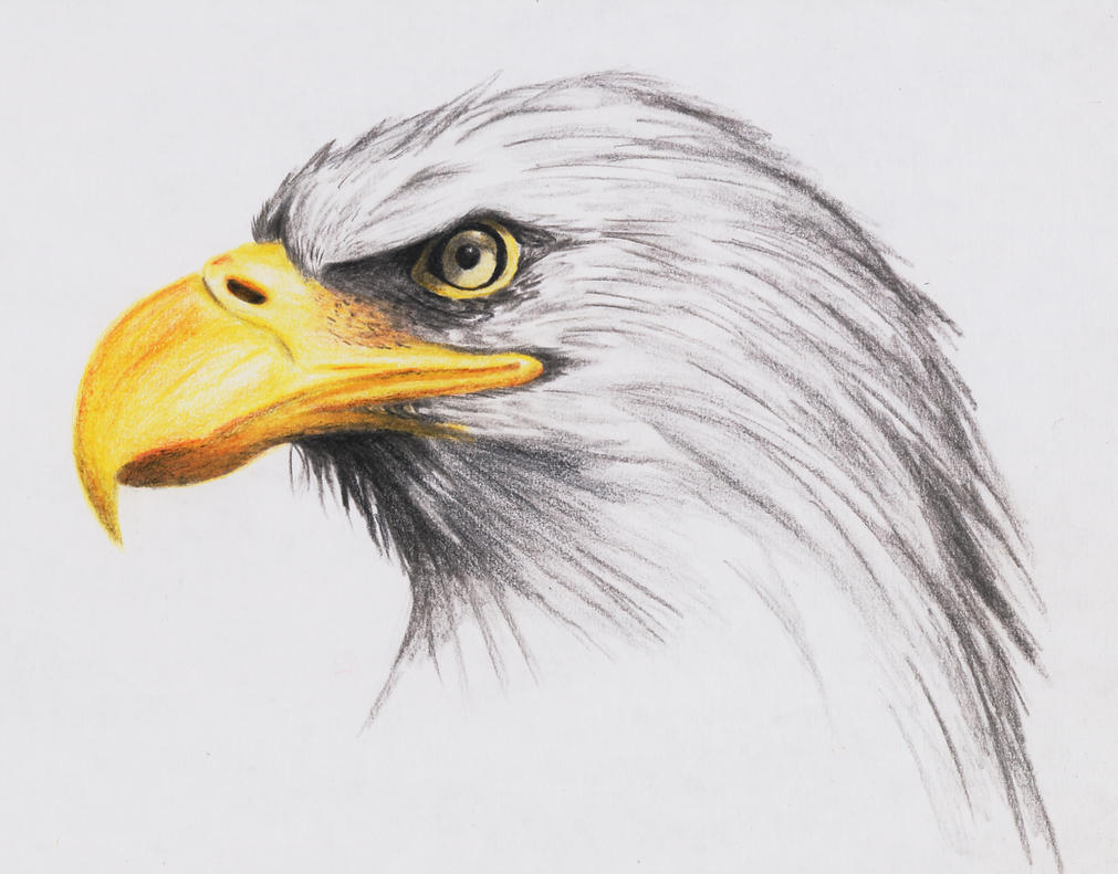 Bald Eagle by highdarktemplar  Eagles Drawings Color