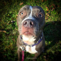 Akebia The American Staffordshire Terrier