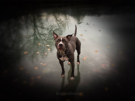 Akeiba The American Staffordshire Terrier