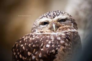 Owl by DanielZrno