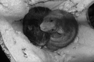 2 sleepyheads in their hammock by Ginchen666