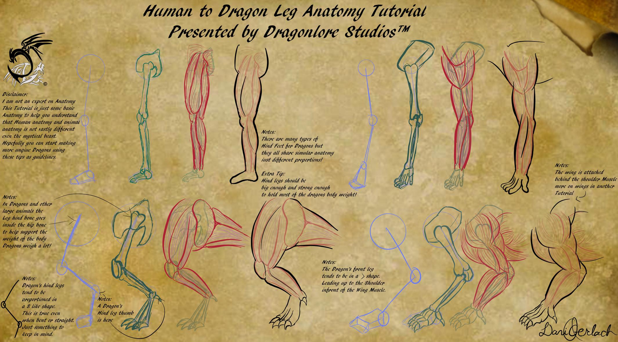 Human To Dragon Leg Anatomy Tutorial By Dragonlorestudios On Deviantart