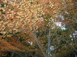 Fall Leaves in Matsuyama