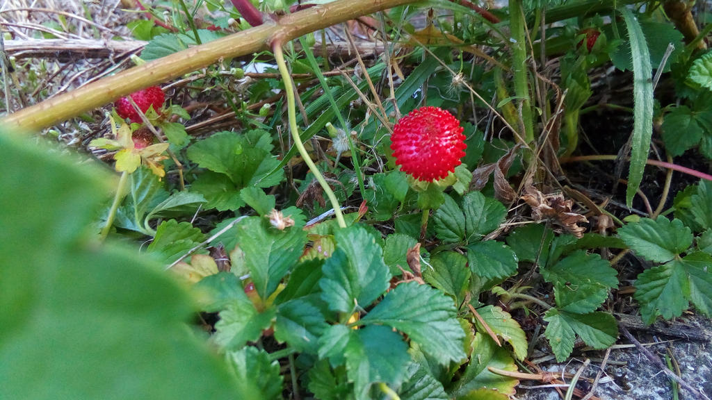 wild strawberries by Lilithaya