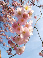 cherry blossoms are the best ^^