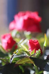 red roses ^^
