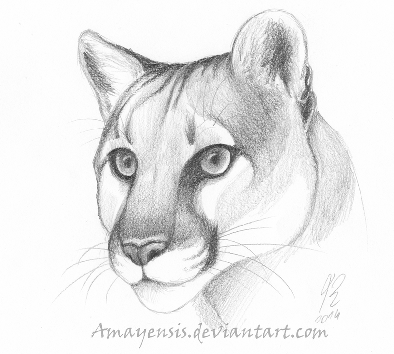 Cougar Face Line Drawing : Eyes of a puma by amayensis on deviantart