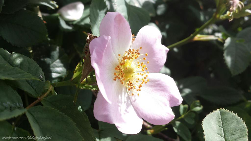 Pink flower by InSeRtPiChErE