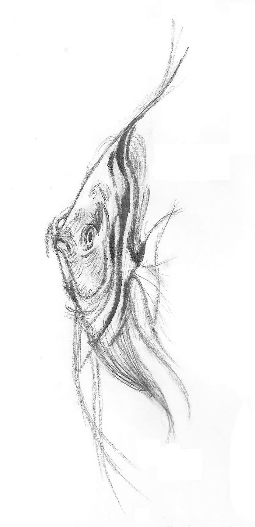 Fishes Pencil Drawing Tropical Fish Pencil838 x 1728