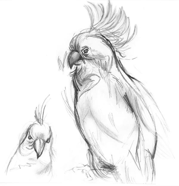Cockatoo pencil sketch by gforce7