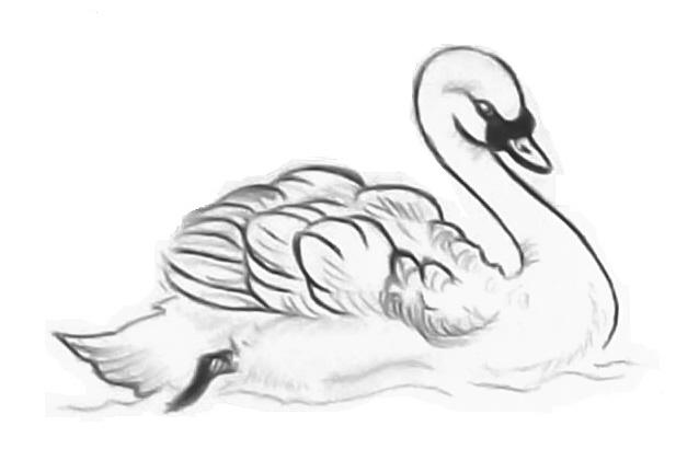 Mute swan drawing