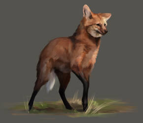 Maned Wolf Study