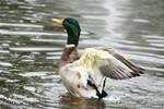 Duck by skyhighartist