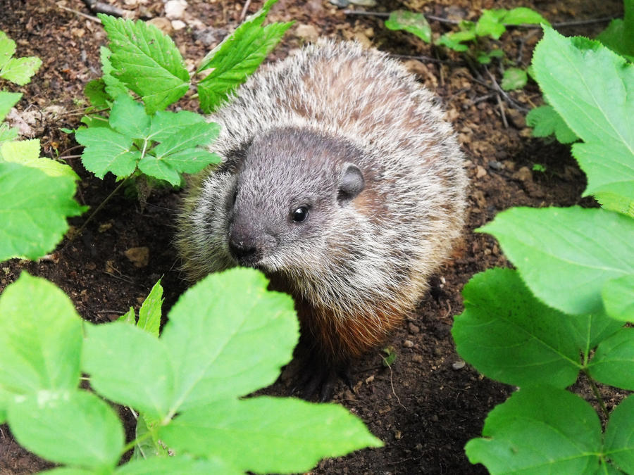 Baby Woodchuck by Bloodlust686