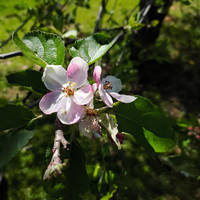 Apple Bloom(s)