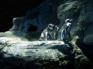 Penguins  Waiting For  A Shot