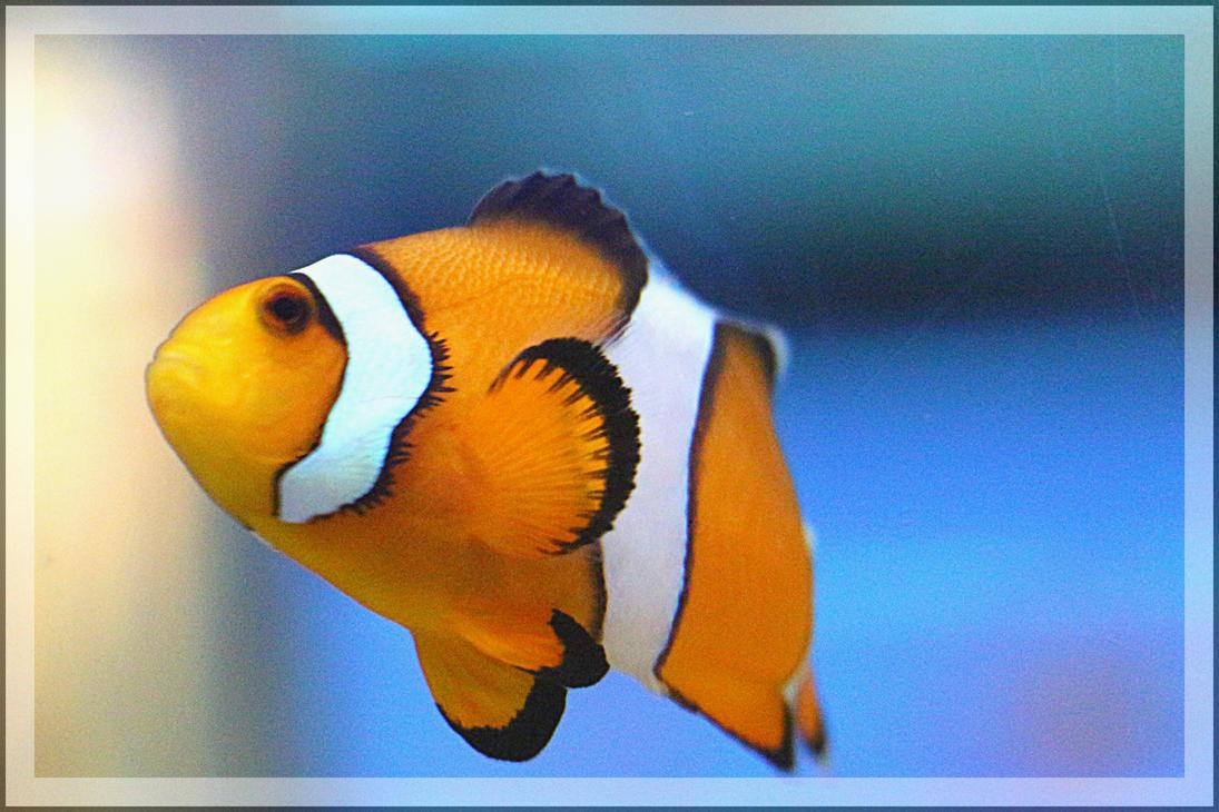 CLOWN FISH by lavendercustard