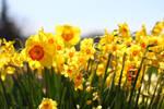 daffodils at a tulip festival