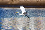 Great White Egret 2 by ringmale