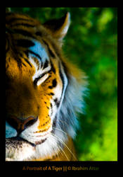 A Portrait of A Tiger by biroo87