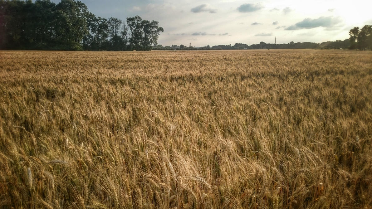 Wind dancing in the wheat. by vdf