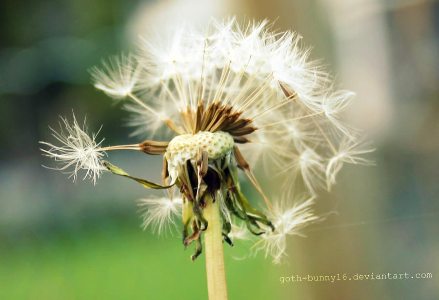 dandelion seeds II by sisselPhotography