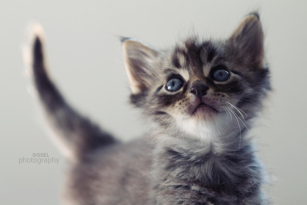 Kitty II by sisselPhotography