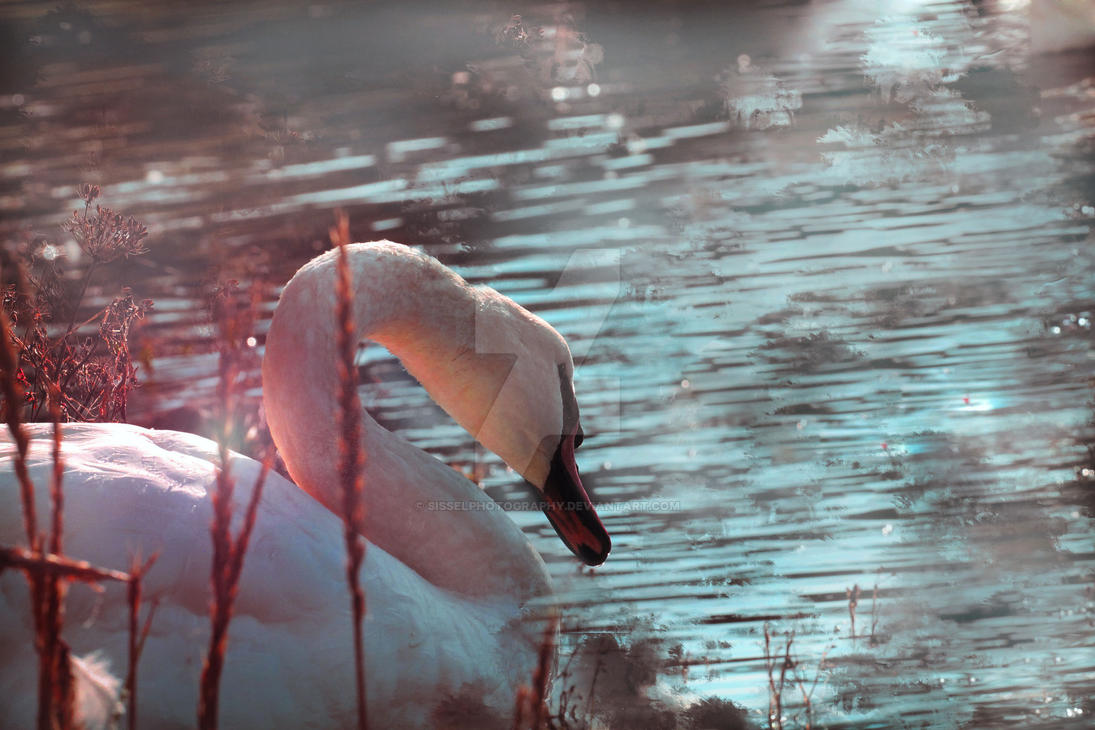 Mystical Swan by sisselPhotography